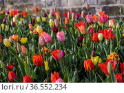 Buntes Tulpenbeet, Meersburg, Baden-Wuerttemberg, Deutschland| Meersburg... Стоковое фото, фотограф Zoonar.com/Günter Lenz / age Fotostock / Фотобанк Лори