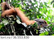 Close up of a Sumatran orangutan (Pongo abelii) male resting in a temporary nest, Gunung Leuser National Park, Indonesia, UNESCO World Heritage site, November. Стоковое фото, фотограф Enrique Lopez-Tapia / Nature Picture Library / Фотобанк Лори