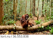 Bornean orangutan (Pongo pygmaeus wurmbii) female holding infant, sitting on a log on the forest floor, Tanjung Puting National Park, Borneo, Central Kalimantan, Indonesia, October. Стоковое фото, фотограф Enrique Lopez-Tapia / Nature Picture Library / Фотобанк Лори