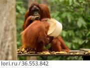 Bornean orangutan (Pongo pygmaeus wurmbii) female eating a banana and infant drinking milk from the Camp Leakey feeding platform, Tanjung Puting National... Стоковое фото, фотограф Enrique Lopez-Tapia / Nature Picture Library / Фотобанк Лори