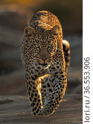 African leopard (Panthera pardus) Walking across rocks Masai Mara, Kenya. Стоковое фото, фотограф Andy Rouse / Nature Picture Library / Фотобанк Лори