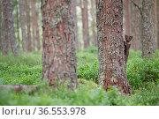 Pine marten (Martes martes) exploring pine woodland, Glenfeshie, Cairngorms National Park, Scotland, UK, July. Стоковое фото, фотограф SCOTLAND: The Big Picture / Nature Picture Library / Фотобанк Лори