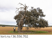 Centennial holm oaks (Quercus ilex). Los Pozuelos. Almansa. Albacete. Редакционное фото, фотограф Antonio Real / age Fotostock / Фотобанк Лори