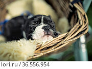 Portrait of a Young Boston Terrier riding in basket on Bicycle with... Стоковое фото, фотограф Zoonar.com/Nailia Schwarz / easy Fotostock / Фотобанк Лори