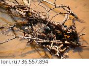 Nest auf einem Brackwasser. Стоковое фото, фотограф Zoonar.com/Martina Berg / easy Fotostock / Фотобанк Лори