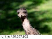 Emu-Porträt. Стоковое фото, фотограф Zoonar.com/Martina Berg / easy Fotostock / Фотобанк Лори