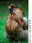 Japanische Seidenhühner haben eine schwarze Haut und werden deshaltb... Стоковое фото, фотограф Zoonar.com/Martina Berg / easy Fotostock / Фотобанк Лори