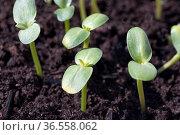 Sonnenblume, Helianthus, annuus, Keimling. Стоковое фото, фотограф Zoonar.com/Manfred Ruckszio / easy Fotostock / Фотобанк Лори