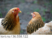 Zwei Hennen auf einem Bauernhof. Стоковое фото, фотограф Zoonar.com/Martina Berg / easy Fotostock / Фотобанк Лори