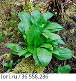 Baerlauch, Allium, ursinum, Keimling. Стоковое фото, фотограф Zoonar.com/Manfred Ruckszio / easy Fotostock / Фотобанк Лори