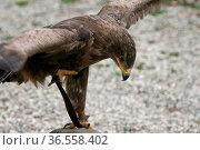 Aquila nipalensis. Стоковое фото, фотограф Zoonar.com/Martina Berg / easy Fotostock / Фотобанк Лори