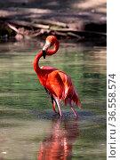Badender Flamingo. Стоковое фото, фотограф Zoonar.com/Martina Berg / easy Fotostock / Фотобанк Лори