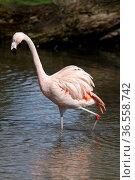 Flamingo im Wasser. Стоковое фото, фотограф Zoonar.com/Martina Berg / easy Fotostock / Фотобанк Лори
