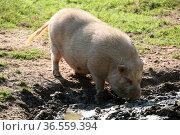 Minischwein beim Schlammbad. Стоковое фото, фотограф Zoonar.com/Martina Berg / easy Fotostock / Фотобанк Лори