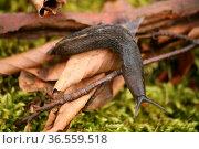 Schwarze Schnecke. Стоковое фото, фотограф Zoonar.com/Martina Berg / easy Fotostock / Фотобанк Лори