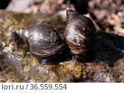 Spitzschlammschnecken. Стоковое фото, фотограф Zoonar.com/Martina Berg / easy Fotostock / Фотобанк Лори