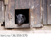 Schwarzes Schwein guckt aus einem Stall. Стоковое фото, фотограф Zoonar.com/Martina Berg / easy Fotostock / Фотобанк Лори
