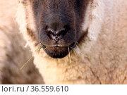 Schwarzköpfiges Fleischschaf. Стоковое фото, фотограф Zoonar.com/Martina Berg / easy Fotostock / Фотобанк Лори