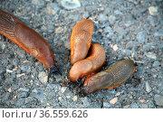 Schnecken beim fressen eines Artgenossen. Ja, Schnecken sind Kannibalen... Стоковое фото, фотограф Zoonar.com/Martina Berg / easy Fotostock / Фотобанк Лори