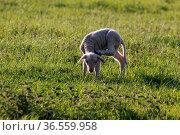 Lamm auf einer Weide. Стоковое фото, фотограф Zoonar.com/Martina Berg / easy Fotostock / Фотобанк Лори