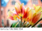 Gelb und Orange farbene Tulpen. Стоковое фото, фотограф Zoonar.com/Nailia Schwarz / easy Fotostock / Фотобанк Лори