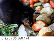Meerschweinchen. Стоковое фото, фотограф Zoonar.com/Martina Berg / easy Fotostock / Фотобанк Лори