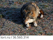 Eurasischer Wolf. Стоковое фото, фотограф Zoonar.com/Martina Berg / easy Fotostock / Фотобанк Лори
