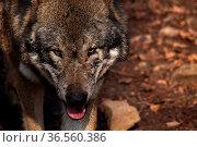 Wolf. Стоковое фото, фотограф Zoonar.com/Martina Berg / easy Fotostock / Фотобанк Лори