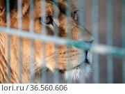 Löwin in einem Zoo. Стоковое фото, фотограф Zoonar.com/Martina Berg / easy Fotostock / Фотобанк Лори