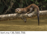 Neotropical river otter (Lontra longicaudis) resting on a log along the Indian River, Indio-Maiz Biosphere Reserve, Nicaragua. August. Редакционное фото, фотограф Nick Hawkins / Nature Picture Library / Фотобанк Лори