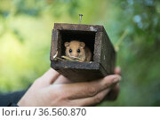 Hazel dormouse (Muscardinus avellanarius), caught in a wooden box by scientists, Voeren, Wallonia, Belgium. September. Стоковое фото, фотограф Kerstin  Hinze / Nature Picture Library / Фотобанк Лори
