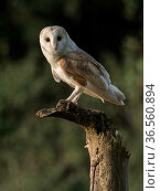 RF - Barn owl (Tyto alba) Perched on dead tree in evening light, Bedfordshire, England, UK, July (This image may be licensed either as rights managed or royalty free.) Стоковое фото, фотограф Andy Sands / Nature Picture Library / Фотобанк Лори