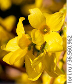 Forsythia (Forsythia × intermedia), flowers of springtime. Стоковое фото, фотограф Zoonar.com/Alexander Ludwig / easy Fotostock / Фотобанк Лори