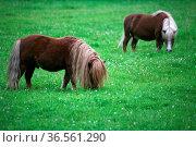 Robuste Kleinpferde. Стоковое фото, фотограф Zoonar.com/Martina Berg / easy Fotostock / Фотобанк Лори