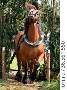 Kaltblüter bei der Arbeit. Стоковое фото, фотограф Zoonar.com/Martina Berg / easy Fotostock / Фотобанк Лори