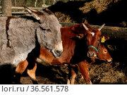 Esel und Zebu. Стоковое фото, фотограф Zoonar.com/Martina Berg / easy Fotostock / Фотобанк Лори