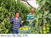 Farmer couple working in greenhouse in summer day, harvesting fresh tomatoes. Стоковое фото, фотограф Яков Филимонов / Фотобанк Лори