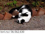 Sich räkelnder schwarz-weißer Kater. Стоковое фото, фотограф Zoonar.com/Martina Berg / easy Fotostock / Фотобанк Лори