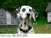 Dalmatiner. Стоковое фото, фотограф Zoonar.com/Martina Berg / easy Fotostock / Фотобанк Лори