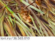 Erdkröten in ihrem Laichgewässer. Стоковое фото, фотограф Zoonar.com/Martina Berg / easy Fotostock / Фотобанк Лори