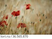 Idyllische Wiese mit Roten Mohnblumen im Frühling. Стоковое фото, фотограф Zoonar.com/Nailia Schwarz / easy Fotostock / Фотобанк Лори