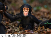 Eastern chimpanzee  (Pan troglodytes schweinfurtheii) infant male 'Shwali' aged 10 months sitting in dried leaves.Gombe National Park, Tanzania. September 2013. Стоковое фото, фотограф Anup Shah / Nature Picture Library / Фотобанк Лори
