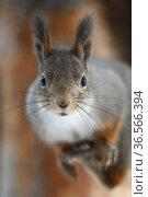 Red squirrel (Sciurus vulgaris) portrait, in winter pelage, Kalvtrask, Vasterbotten, Sweden. December. Стоковое фото, фотограф Staffan Widstrand / Nature Picture Library / Фотобанк Лори