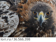 Golden eagle (Aquila chrysaetos) male, close up of head and wing feathers, Kalvtrask, Vasterbotten, Sweden. December. Стоковое фото, фотограф Staffan Widstrand / Nature Picture Library / Фотобанк Лори