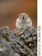Pika (Ochotona princeps) resting, Denali National Park, Alaska, USA, September. Стоковое фото, фотограф Danny Green / Nature Picture Library / Фотобанк Лори