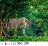 Lion (Panthera leo), female amongst trees. Mana Pools National Park, Zimbabwe. November. Стоковое фото, фотограф Tony Heald / Nature Picture Library / Фотобанк Лори