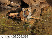Bengal tiger (Panthera tigris) sub-adult male in water, Ranthambhore, India. Стоковое фото, фотограф Andy Rouse / Nature Picture Library / Фотобанк Лори