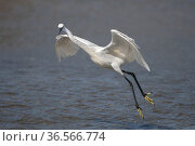 Little egret (Egretta garzetta)  hunting fish  caught in pools at low tide, Gambia. Стоковое фото, фотограф Bernard Castelein / Nature Picture Library / Фотобанк Лори