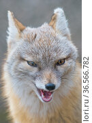 Corsac fox (Vulpes corsac) portrait. Occurs in Central Asia. Captive, Netherlands. Стоковое фото, фотограф Edwin Giesbers / Nature Picture Library / Фотобанк Лори