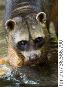 Crab-eating raccoon (Procyon cancrivorus) portrait. Occurs in South America. Captive, Netherlands. Стоковое фото, фотограф Edwin Giesbers / Nature Picture Library / Фотобанк Лори